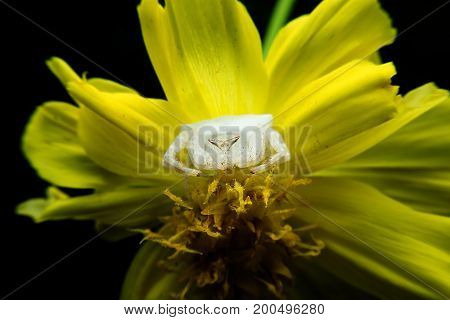 Crab spider on flowers with close-up detailed view.