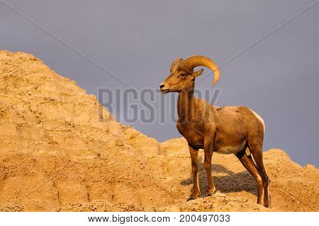 A Bighorn Sheep scales a cliff at sunset in the Badlands