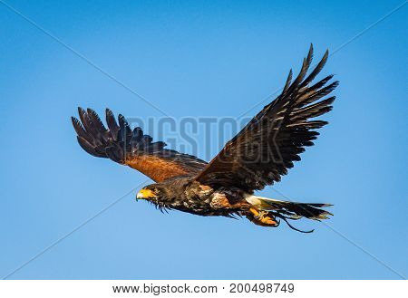 A Harris's Hawk which is a bird of prey and used in falconry is in flight with wings spread