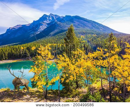 The concept of ecological and active tourism. The lake with asure water in the Rocky Mountain, Canada. Noble deer with branched horns resting by the lake