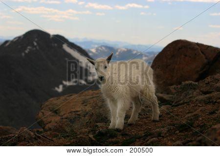Baby Mtn Goat Mt. Evans