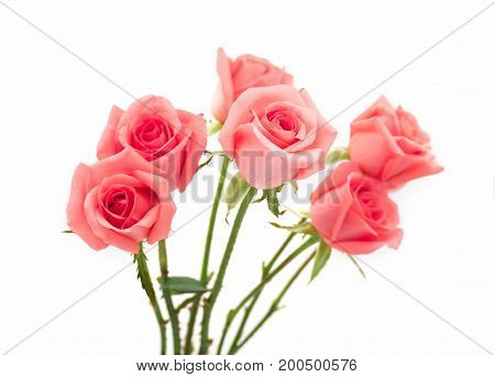 Isolate image of beautiful pink rose flower bouquet on white background. Valentine day love and wedding concept.
