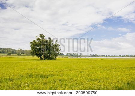 The tree is surrounded by green and yellow rice fields with blue sky.