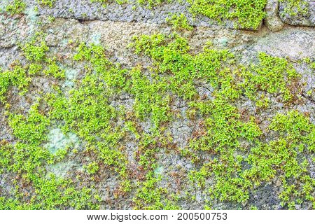 Green moss texture background on the wall.