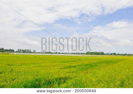 Green and yellow rice fields with blue natural sky.