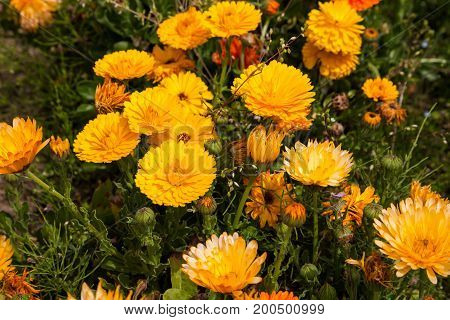 Marigold yellow flower petals calendula flower in garden.