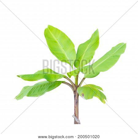 Young green banana tree isolate on a white background with clipping path.