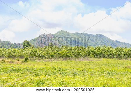 Green rubber plantation with mountains in the background