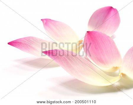 Close up pink lotus petals flower on white background