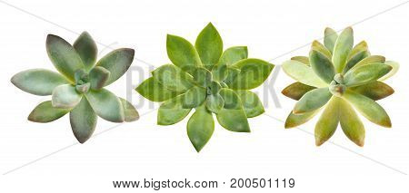 Top view of small succulent plant isolated on white background