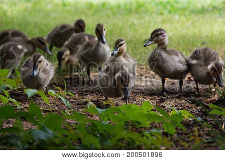 A group of ten ducklings feeding on plants in a shaded area.