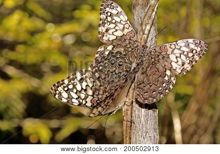 Butterflies Copulating on Tree in the forest.