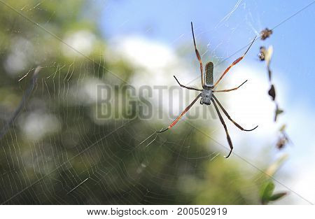 Spider on spiderweb in Caribbean forest in the day