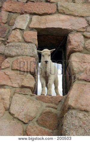 Baby Mtn Goat In Window