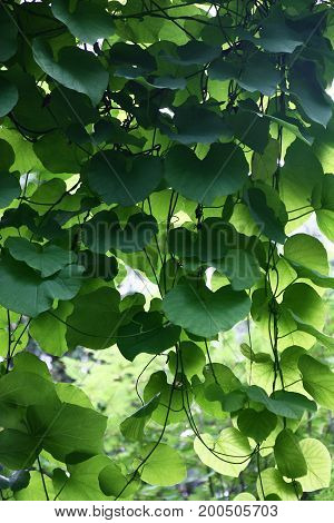 Hanging down runaways of a aristolochia with large leaves have formed an original green curtain.