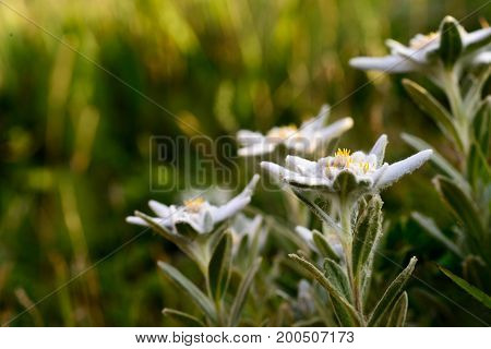 Beautiful Edelweiss blooming at summer evening mountains