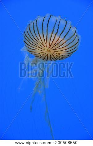 Japanese Sea Nettle Jellyfish in an Aquarium