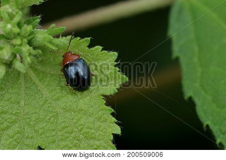 macro image of a tiny leaf beetle on green leaf
