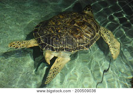 A big turtle swimming in an aquarium