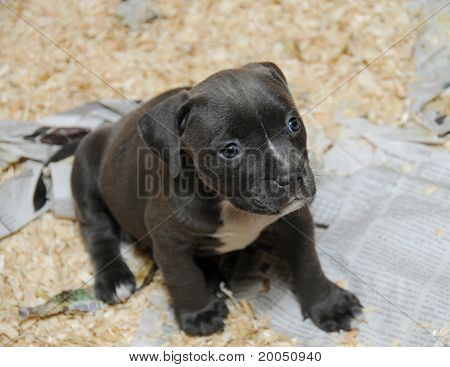 Purebred Canine Blue Nose American Bully Puppy sitting in Whelping Litter Box poster