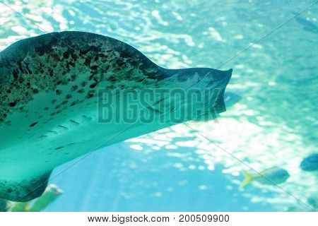 Stingray of the Dasvatis genus glides through the water near a coral reef in a large saltwater aquarium