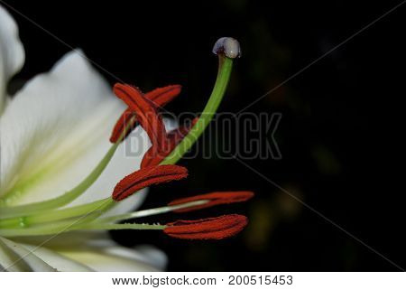 Stamens and pistil of white lily closeup on a dark background