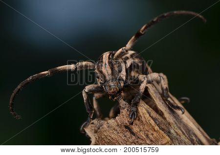macro image of a beautiful pattern longhorn beetle