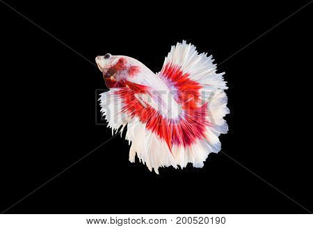 Siamese fighting fish (Double-Tail Halfmoon) Red-tailed eared fish with white edges. isolated on white background.