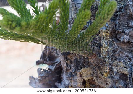 Trunk of fir with branch and resin falling down