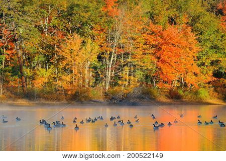 Canadian Goose in lake with colorful Autumn foliage.