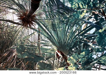 Underside view of palm trees in Botanical Garden. Botanical background in cold tones.