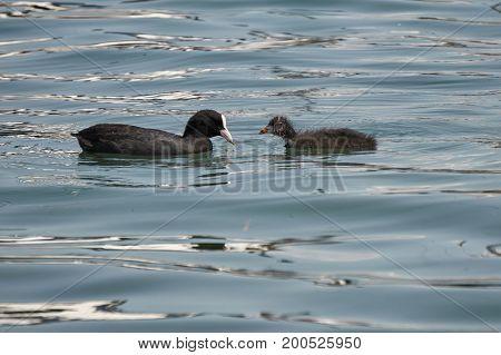 Moorhen Duck  With  Puppy