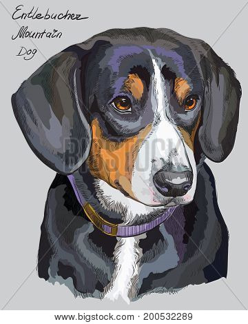 Entlebucher Mountain Dog vector hand drawing illustration in different color on grey background