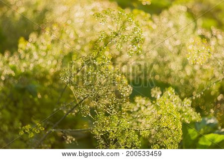 Background of the flowering dill with umbel inflorescences and droplets of dew closeup at shallow depth of field