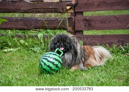 A Pekinese dog sitting on the grass against a wooden fence