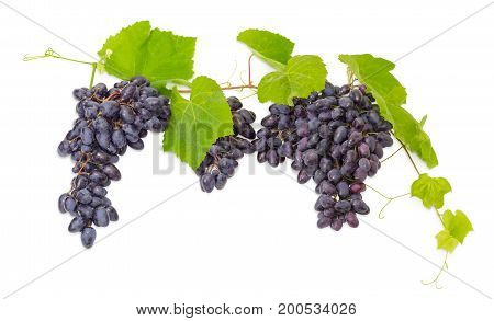 Clusters of the ripe blue table grapes on the vine with leaves and tendrils on a white background