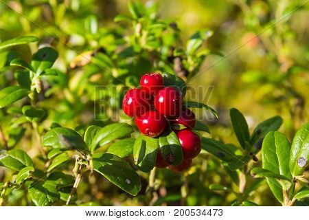 Red Huckleberry Groving In A Forest In A End Of Summer