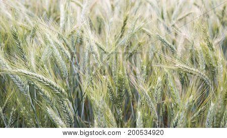 closeup of of beautiful cornfield in the wind