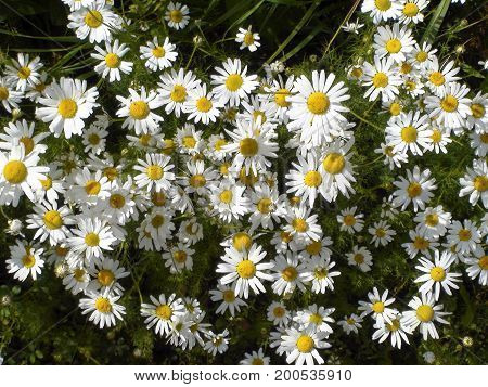 daisies, field of daisies, a Bush, many small daisies, summer flowers
