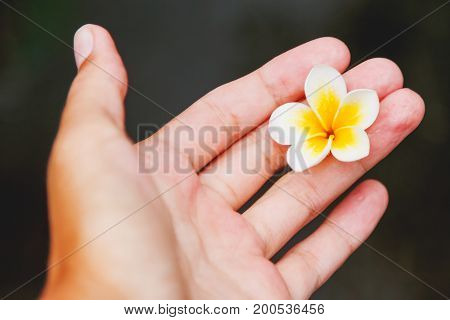 White Plumeria (frangipani) flower on hand. Symbol of beauty and fragility. Bali Indonesia.