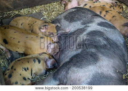spotted Piglets in the pig trail sleeping in the straw and suckling the mother sow