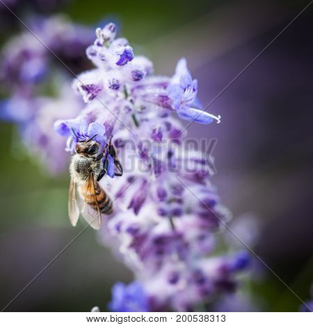 Bee on lavender collects nectar for honey