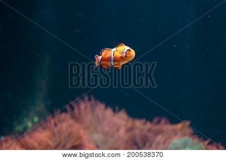 Orange Amphiprion Ocellaris Clownfish Inside Marine Aquarium
