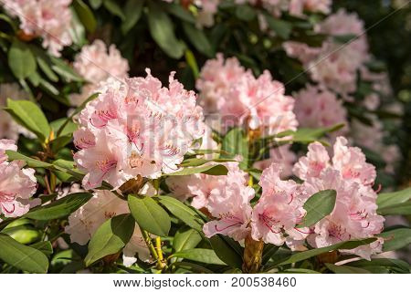 Rhododendron aganniphum flowers in full bloom in spring with beautiful decorative bright pink flowers