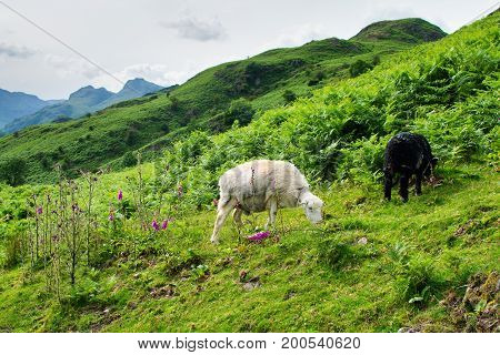 Lake District National Park, England, sheep in the mountains, selective focus