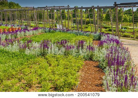 a corridor of purple sage flowers and stachys lanata sunlit  / an expanse of purple sage flowers and stachys lanata in the vegetable -garden of Venaria's royal palace near Turin in Piedmont (ITALY)
