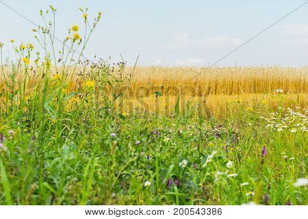 Flowering wildflowers and Motley grass in sunny summer day, growing along roadsides of rye field. Rural background. Flowering plants of summer