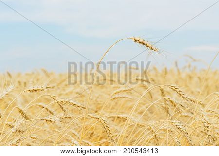 One high tall ripe full-grain cereal close-up on a hot summer afternoon against a yellow rye field, wheat and blue sky, for seasonal background