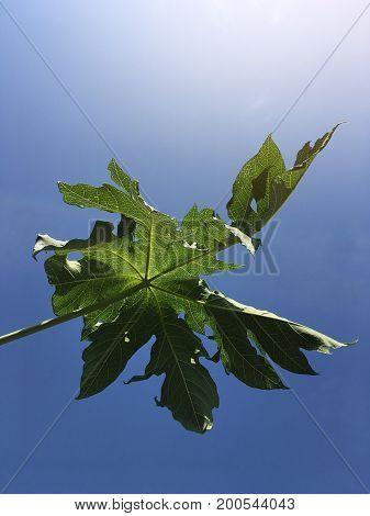 fresh green papaya leaves on blue sky