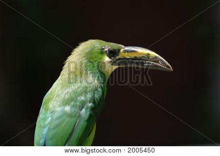 Emerald Toucanet tropical bird close side view poster